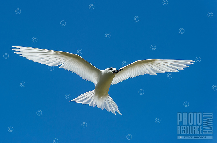 A flying white tern or manu-o-ku on O'ahu.