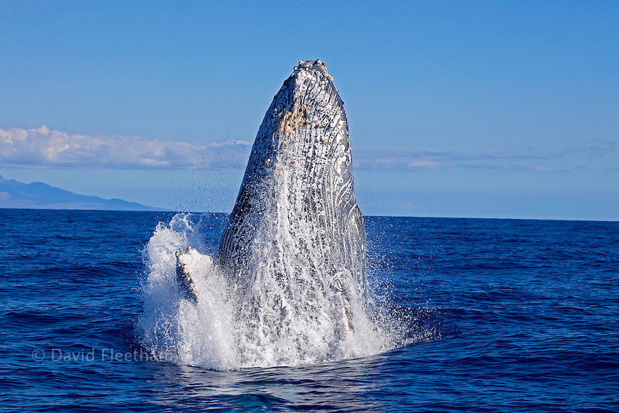 Breaching humpback whale, Megaptera novaeangliae, off the coast of Maui, Hawaii.