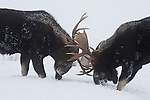 Two bull moose spar in Grand Teton National Park, Wyoming.
