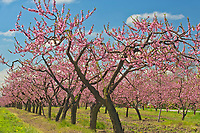 Peach trees in bloom (flowering) on an orchard on Lake Ontario in the Niagara Region.  Golden Horseshoe. Niagara Peninsula.<br />Grimsby<br />Ontario<br />Canada