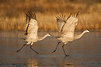 Sandhill Crane (Grus canadensis) adults taking off, Bosque del Apache National Wildlife Refuge , New Mexico, USA