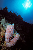 azure vase sponge, Callyspongia plicifera, Roatan, Honduras, Caribbean, Atlantic