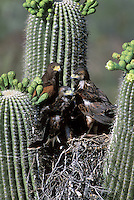 Harris Hawk fledglings with Adult in nest in Saguaro; Sonoran Desert, Arizona