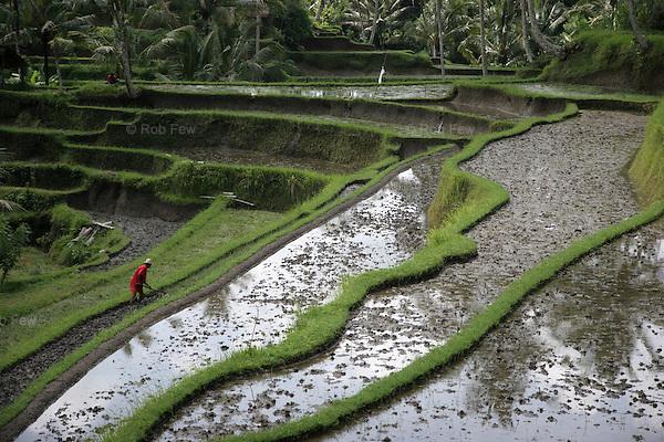 Rice paddy in Ubud.
