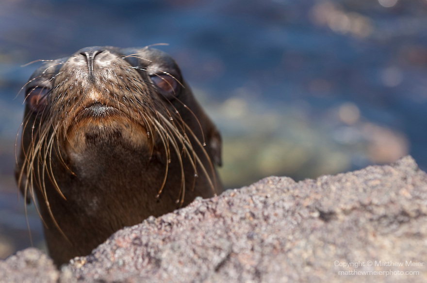 South Plazas Island, Galapagos, Ecuador; a very young Galapagos Sea Lion (Zalophus wollebaeki) peeks it's head over the volcanic rock for a look at the strange creature with the camera , Copyright © Matthew Meier, matthewmeierphoto.com All Rights Reserved