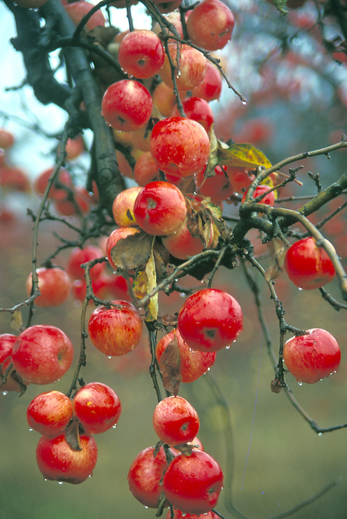 Apples hanging on a tree, wet with the morning dew, Mendocino California