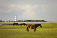 Horses grazing at Shackleford Banks, near the Cape Lookout Lighthouse in North Carolina