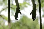 Hanuman Langur Feet & Tail