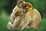Barbary Macaque, Macaca radiaca, Captive, group huddled together, keeping warm.India....
