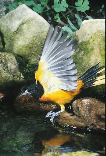 Oriole bending down to water