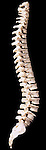 The human spine from the left side. The spine supports the head, holds the body upright, and protectively encircles the spinal cord which passes through its central cavity. The spine consists of 33 vertebrae, articulated by intervertebral discs which allow flexibility and movement. Damage to the intervertebral discs that lie between the vertebrae (such as a 'slipped disc or disc protrusion) is a common condition that can resolve spontaneously, but may require surgery such as discectomy.