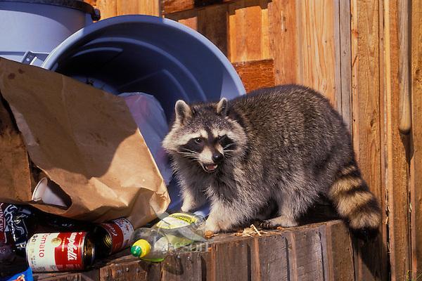RACCOON raiding garbage in backyard shed..Autumn. North America..(Procyon lotor).