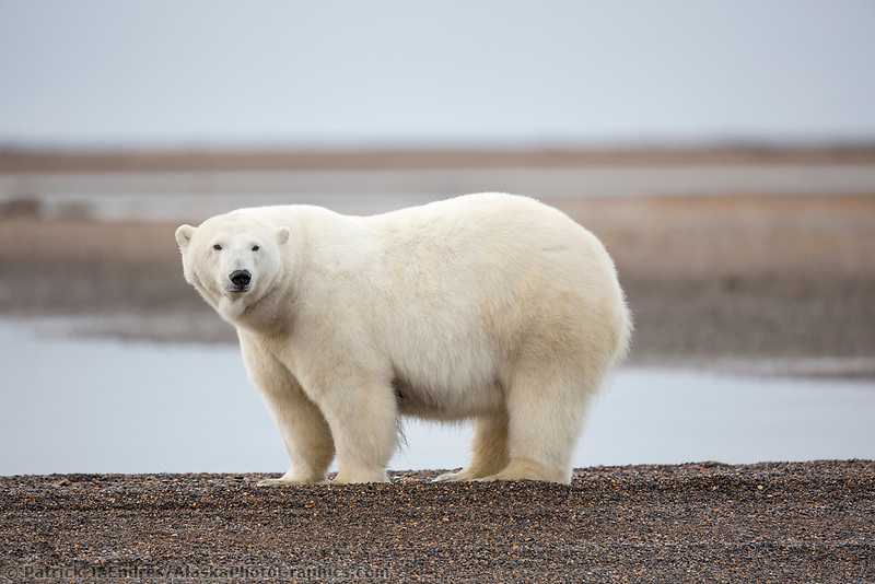 Polar bear along the shore of a barrier island in the Beaufort Sea, arctic Alaska.