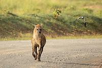 Spotted Hyena, Crocuta crocuta, walks on a dirt road in Lake Nakuru National Park, Kenya, while a lapwing, Vanellus sp., flies past.