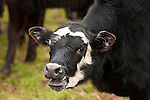"""Balling calf during the cattle marking and branding with the Dell""""Orto family in the Sierra Nevada Foothills of California...**usage by any anti-livestock individual, group, publication, websites, e-mail or anything similar is prohibited."""