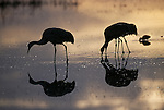 Sandhill Cranes standing in water feeding in Bosque del Apache National Wildlife Refuge, New Mexico