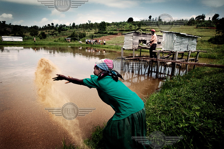 A woman throws a handful of feed into a pond for the fish that are bred there.