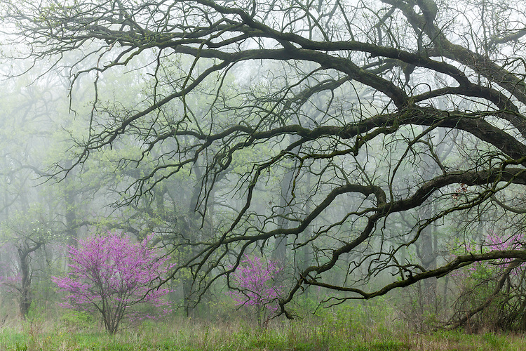 Redbud trees in bloom on a foggy sunrise at The Morton Arboretum; DuPage County, IL