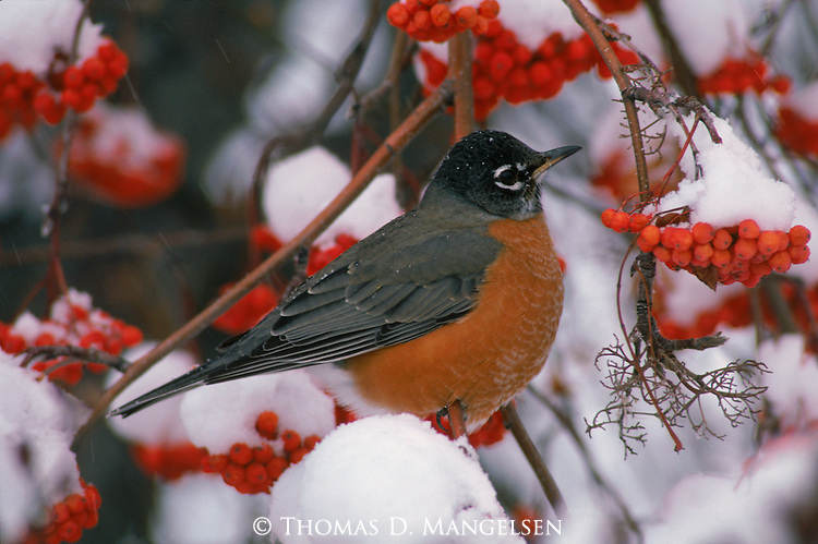 A robin perched in a mountain ash.
