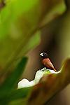 Chestnut Munia (Lonchura atricapilla), Tawau Hills Park, Sabah, Borneo, Malaysia