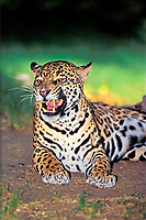 jaguar, Panthera onca, adult, female, threate display