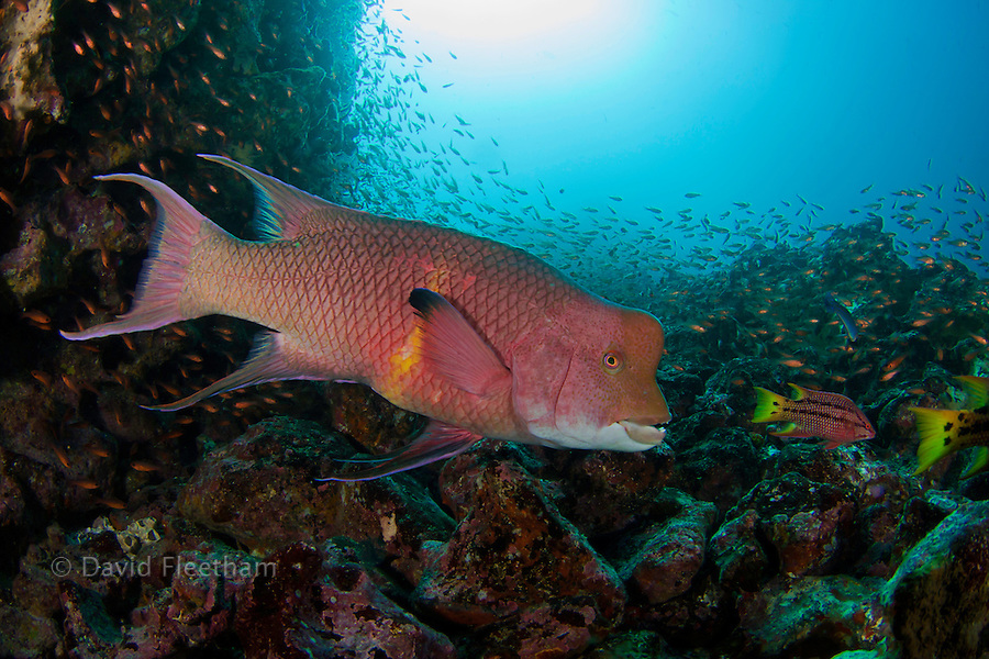 A reef scene with a Mexican hogfish, adult male phase, Bodianus diplotaenia, and schooling cardinalfish, Apogon pacifici, Gordon Rocks, Galapagos Archipelago, Ecuador.