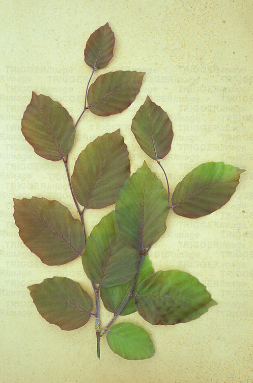 Spray of spring fresh green and purple leaves of Copper beech or Fagus sylvatica Purpurea tree lying on antique paper