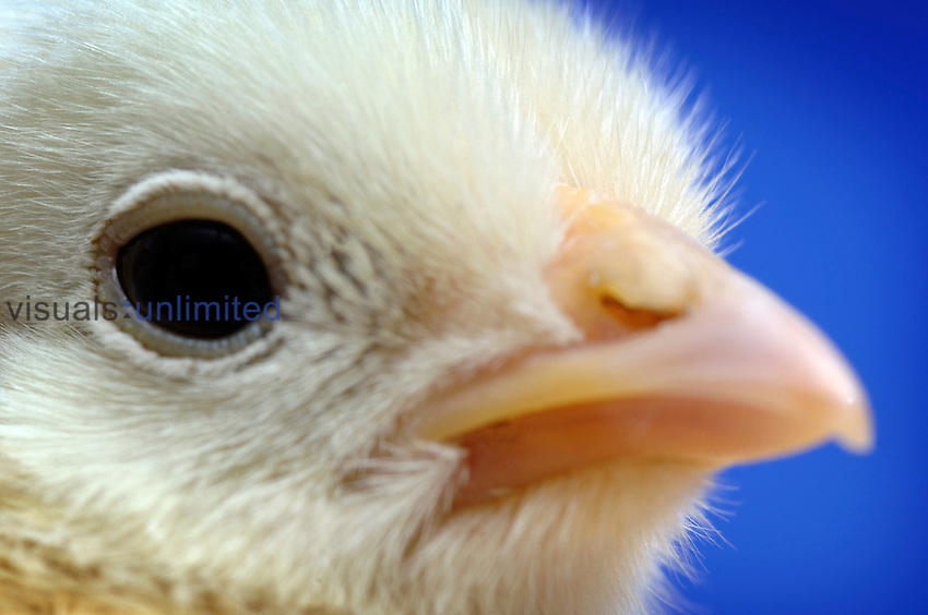 Close up of a chick just a few days old. Avian influenza is a contagious disease among birds which kills chickens such as these but there is also a strain H5N1 which kills people and governments around the world are spending millions of pounds creating and stockpiling vaccines to prevent a possible pandemic. Royalty Free