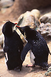rockhopper penguins, courtship