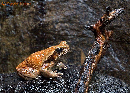 "0519-07vv  Smooth Sided Toad ""South America"" - Bufo guttatus - © David Kuhn/Dwight Kuhn Photography"