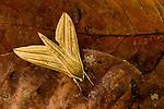 Hawk Moth (Pergesa sp) camouflaged on leaf litter, Tawau Hills Park, Sabah, Borneo, Malaysia