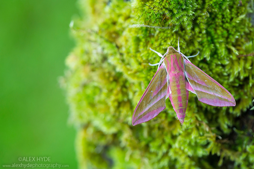 Elephant Hawkmoth (Deilephila elpenor) Oxfordshire, UK. July.