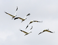 Flock of five whooping cranes, all in adult plumage. These birds were attracted to corn feeders at Lamar, TX and may be gathering for the return flight to Canada. Phot taken 2/22/11.