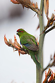 A Red Corwned Parakeet feeds on the flowers of a Flax, on Tiritiri Matangi Island in Aucklands Hauraki Gulf..Once widespread on the mainland New Zealands Red Crowned Parakeet or Kakariki was susceptible to predation by introduced mammals, such as cats, rodents, mustelids and possums and is now only confined to predator free offshore islands.