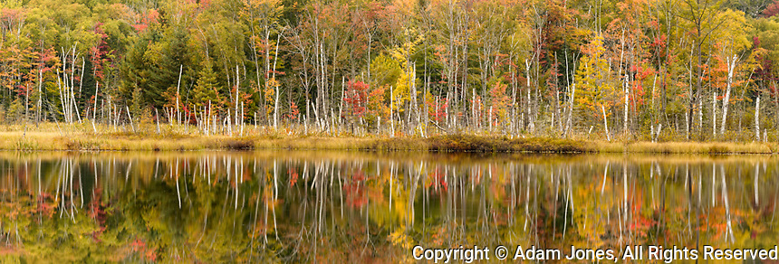 Panoramic of fall colors and birch trees reflected on Red Jack Lake, Hiawatha National Forest, Upper Peninsula of Michigan.