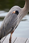 The great blue heron wears an elegant morning coat of pale grey trimmed in rust and black.