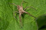 Nursery Web Spider, Pisaura mirabilis , Bonsai Bank, Denge Woods, Kent UK