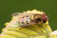 Flower Fly (Syrphus sp.) - Male, West Harrison, Westchester County, New York