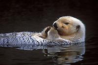 Sea Otter resting, Cordova, Alaska