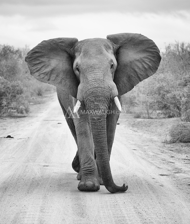 This bull elephant was not happy with the presence of a rival male.  Then he charged our vehicle.