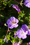 A bee gathers nectar from a purple geranium on a beautiful fall day.