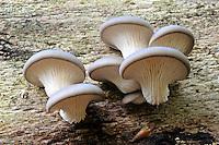 Austern-Seitling, Austernseitling, Austernpilz, Pleurotus ostreatus, Oyster mushroom