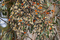 Western Monarch Butterflies (Danaus plexippus) in wintering cluster, coastal California.  Many with their wings out catching the sun to warm up.  Monarch butterflies cannot fly if their body temperature is less than 86 degrees.  We generally assume that monarchs can fly if it is above 60 degrees F, and above 50 degrees if it is sunny. The sun allows them to warm their flight muscles enough to fly.