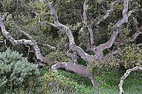 Coastal Live Oak draped in moss, Quercus agrifolia, Los Osos Oaks State Reserve, Los Osos, California