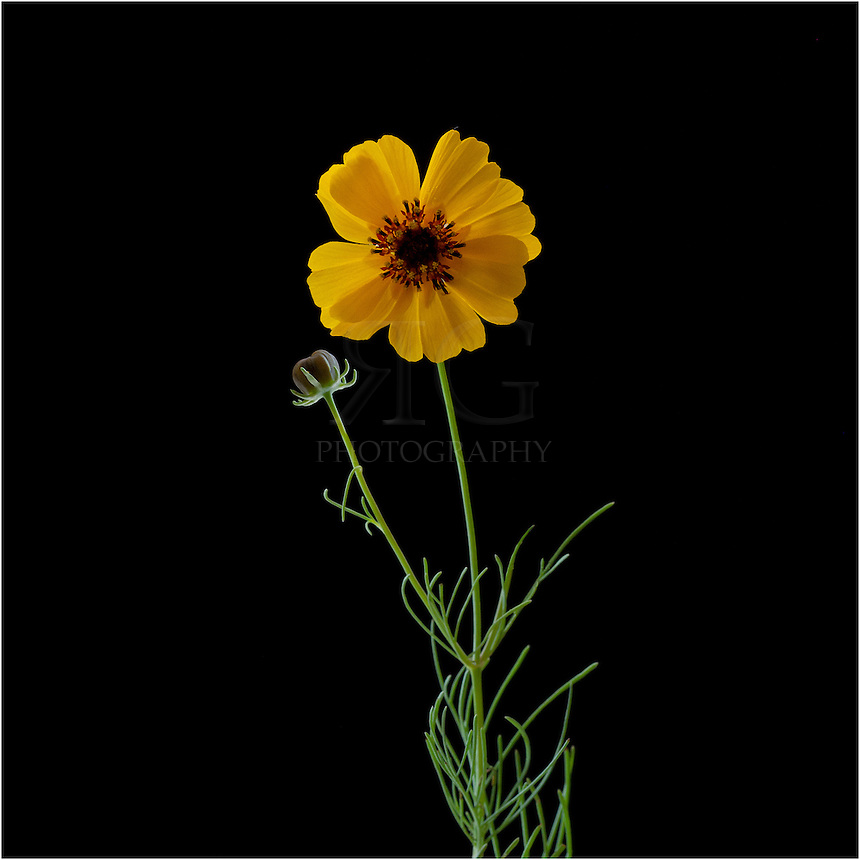 Goldeneye is a yellow Texas Wildflower that often grows in colonies. It is an extremely drought resistant plant that can grow up to 6 feet tall. These colorful Texas Wildflowers usually bloom in October and November.