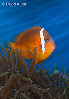 0322-1106  Tomato Clownfish, Amphiprion frenatus, with Bubble-tip Anemone, Entacmaea quadricolor  © David Kuhn/Dwight Kuhn Photography