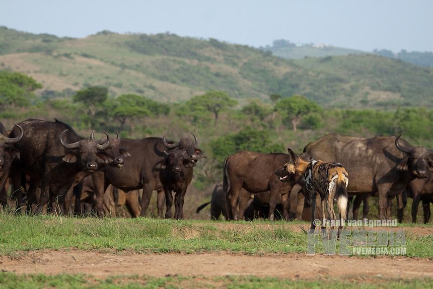 Hluhluwe-Imfolozi Game Reserve, Kwazulu-Natal, South Africa. November 2010.