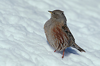 Alpine Accentor (Prunella collaris), adult on snow, Switzerland
