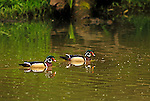 Colorful male Wood Ducks swimming on the Green River in Washington
