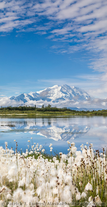 Alaska cotton grass around a tundra pond with the mountain reflection of Denali, North America's tallest mountain. Denali National Park